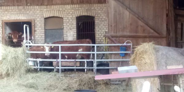 Kühe aus Eifa